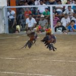 Trik dan Tips Sabung Ayam Online