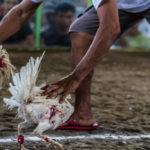 Bonus Permainan Judi Sabung Ayam Online yang Paling Menguntungkan