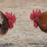 Cara Tepat Memilih Ayam Di Situs Sabung Ayam Online